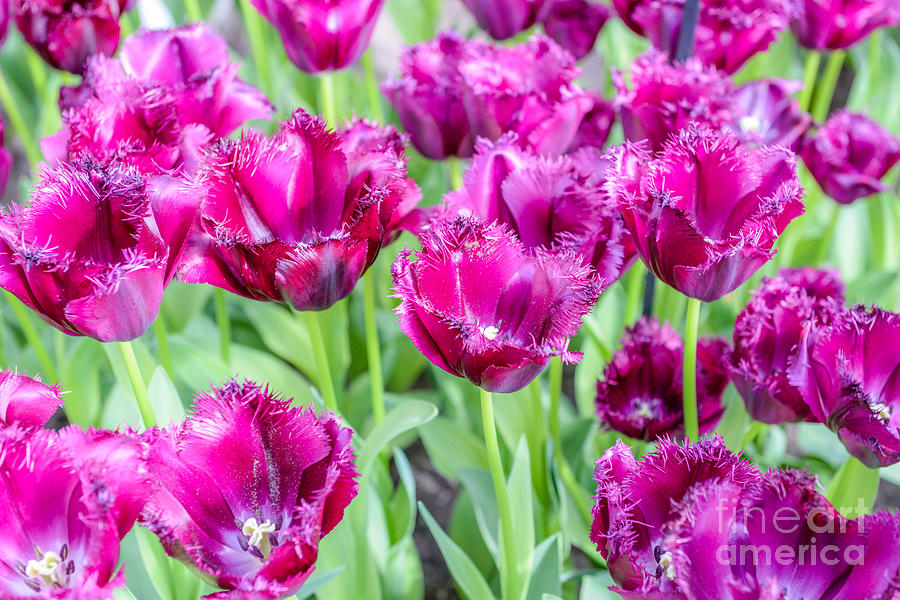 Beauty Photograph - Amsterdam Flowers by Gmlykin