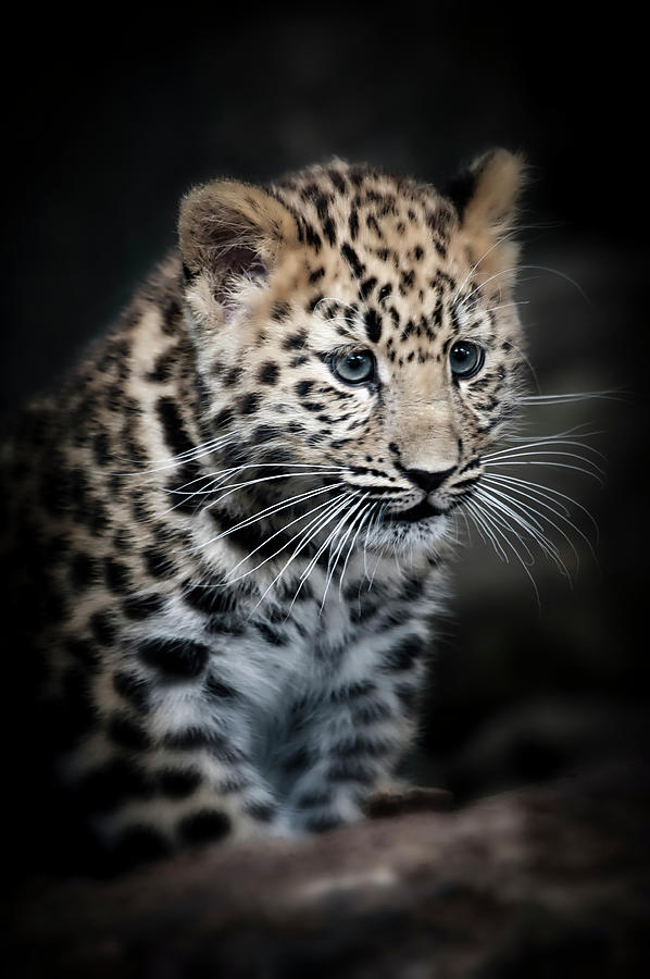 Amur Leopard Cub by Chris Boulton