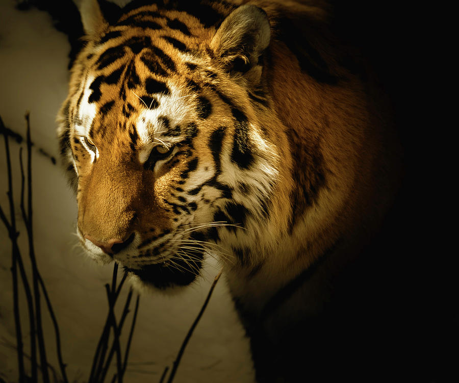 Amur Tiger by Peter Wagner