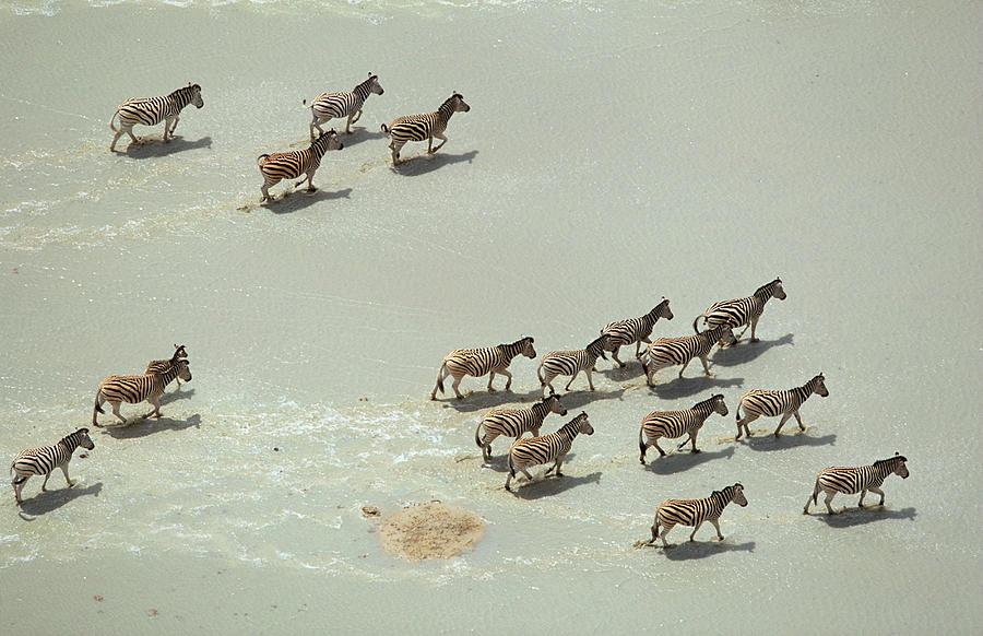An Aerial Of A Burchells Zebra Herd On Photograph by Richard Du Toit