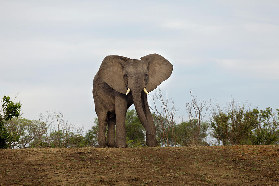 An African Elephant Walking Towards Photograph by Sean Russell