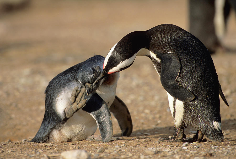 An African Penguin Grooming Her Young Photograph by Martin Harvey