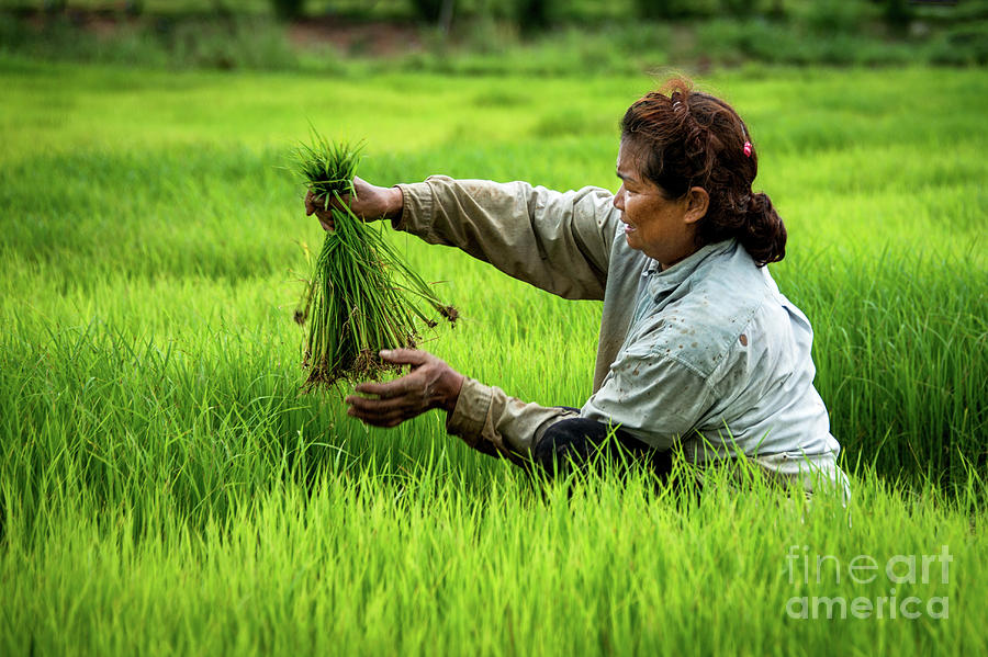 An Afternoon Transplanting Rice by Lee Craker