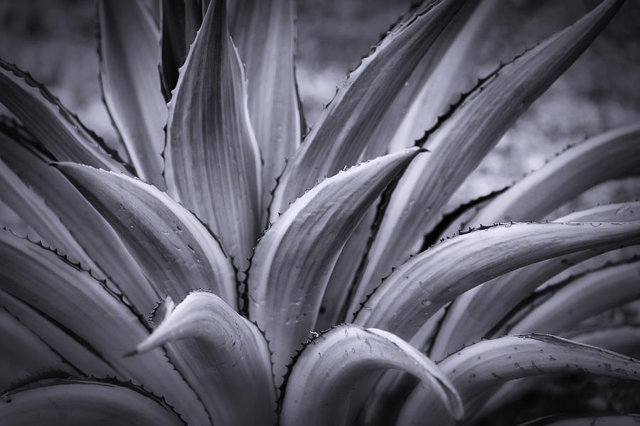 An Agave In Black And White  by Saija Lehtonen