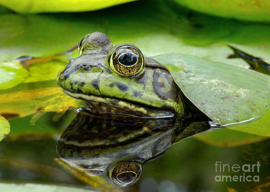 Pond Photograph - An American Bullfrog. Photo Taken In by Angel Dibilio