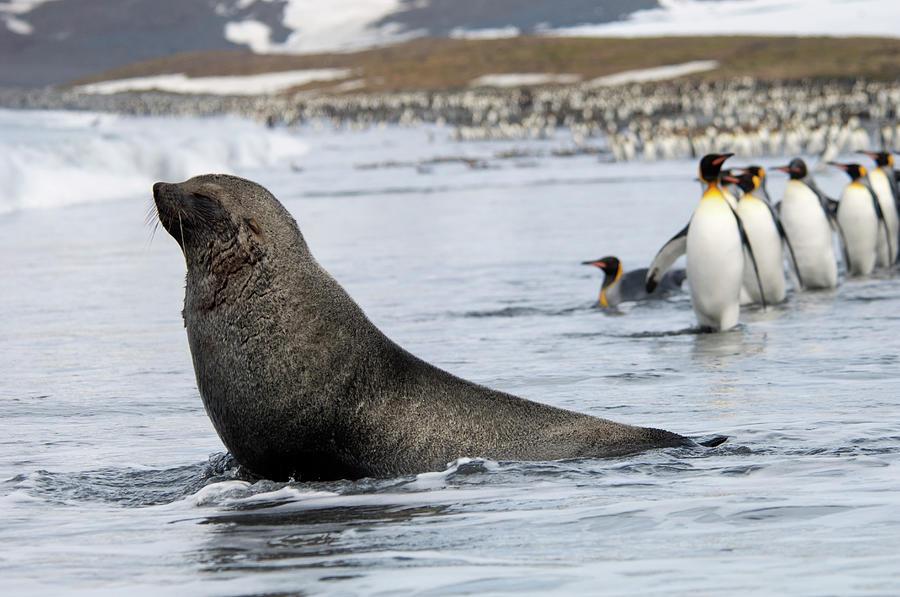 An Antarctic Fur Seal, Arctocephalus Photograph by Mint Images - David Schultz