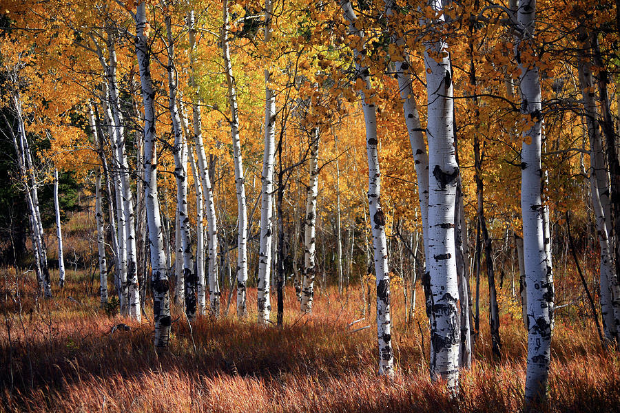 An Aspen Grove In Autumn With Orange Photograph by Denny35463