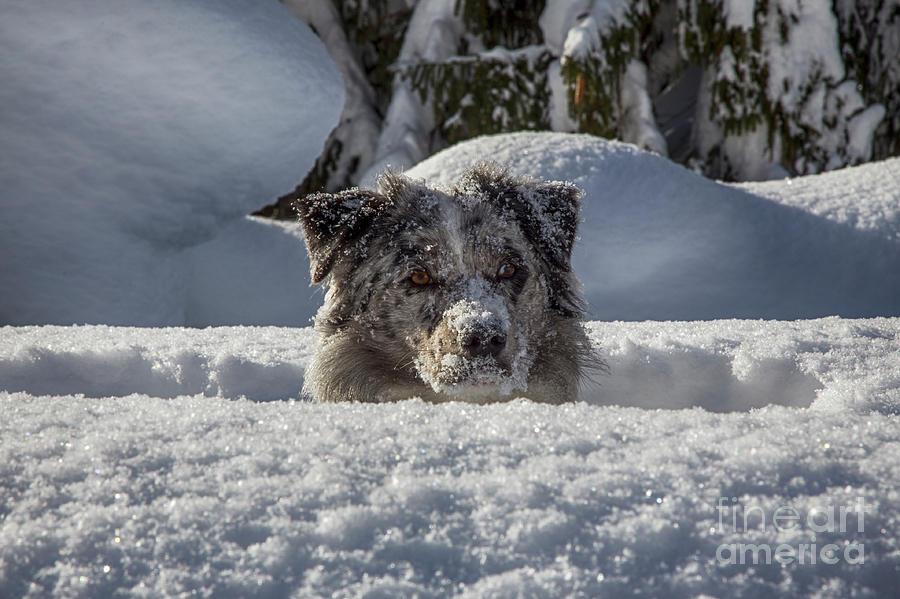 An Australian shepherd in the snow by Fabian Roessler