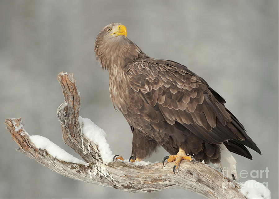 An Eagle Perched On A Snow-covered Photograph by Andy Astbury