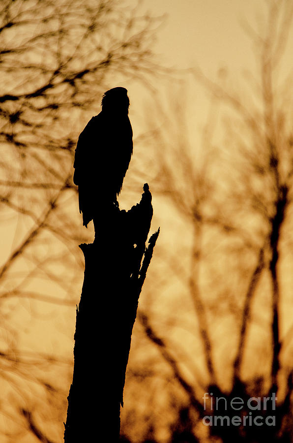 An Eagle Silhouette by Steven Santamour