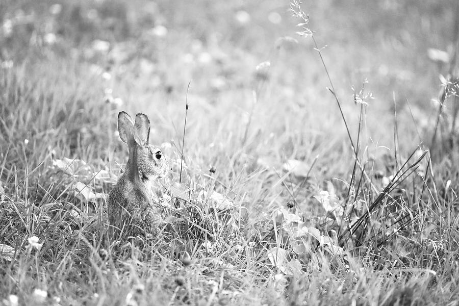 An Eastern Cottontail Rabbit in a Meadow by Rachel Morrison
