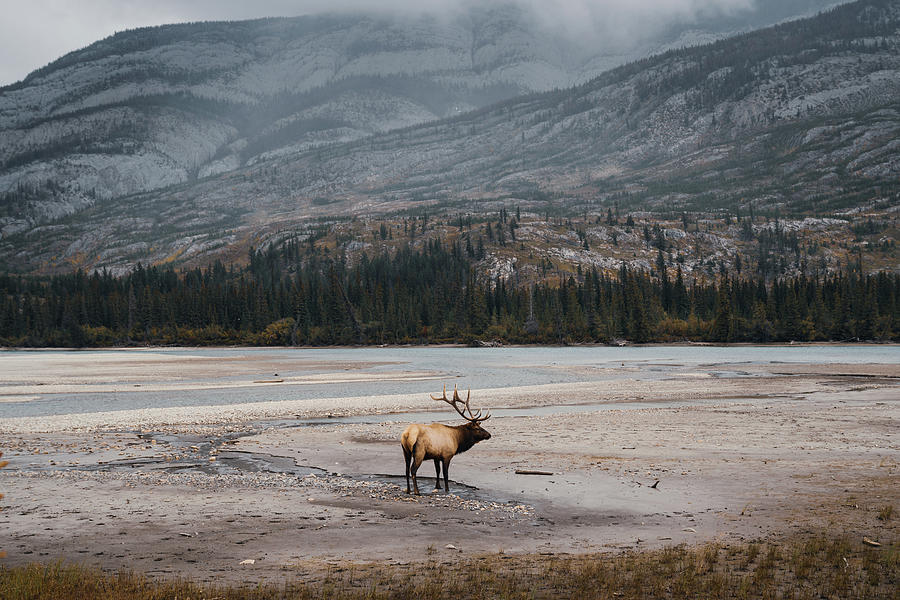 An Elk in the Jasper National Park in Canada by Kamran Ali