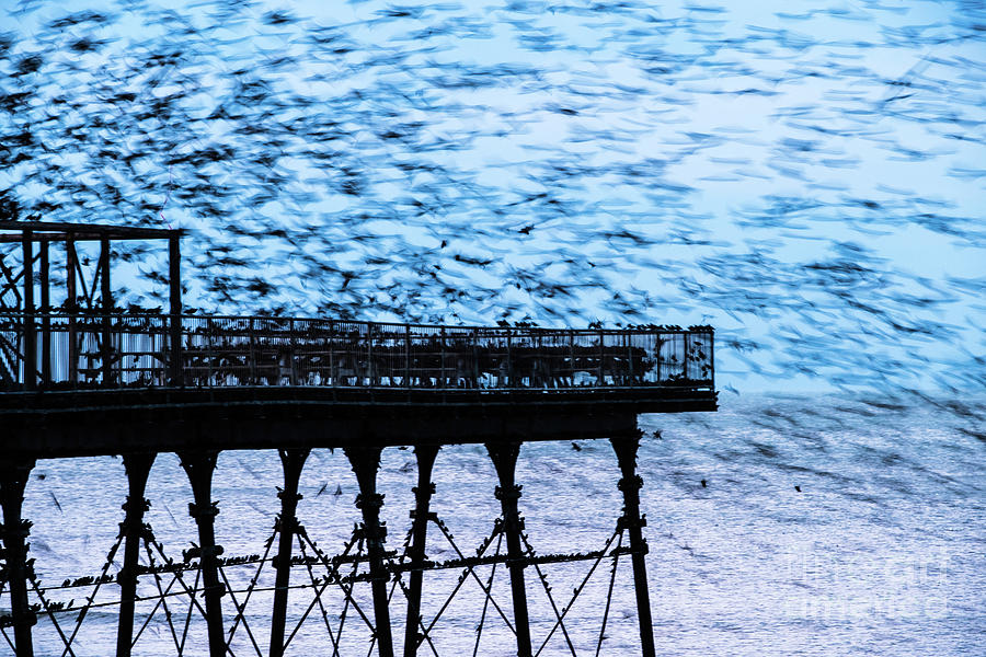 Aberystwyth Photograph - An Explosion Of Starlings  by Keith Morris