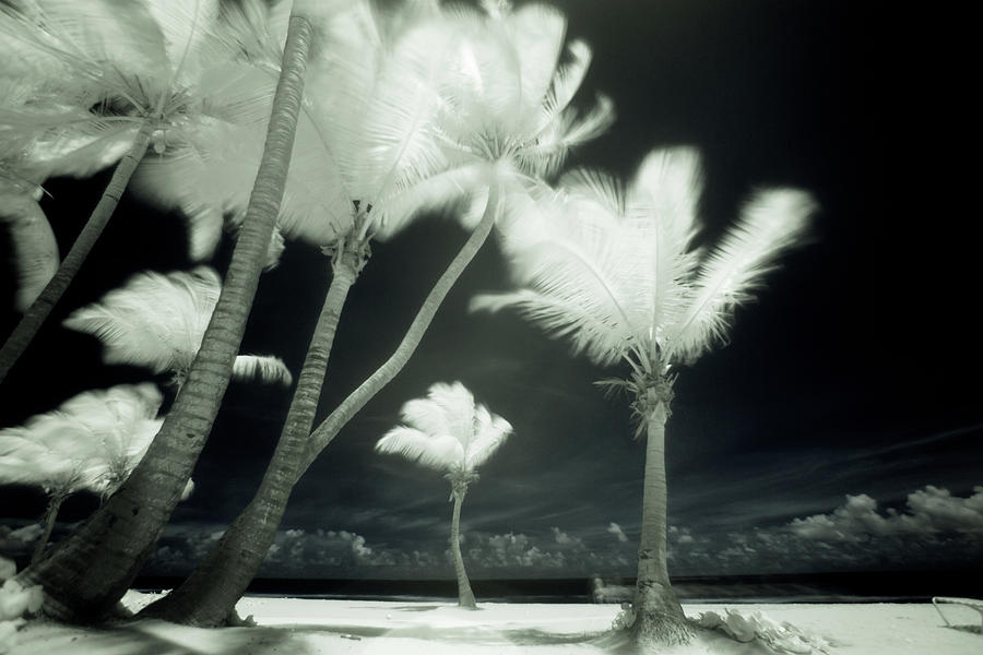 An Infrared Image Of Tall Palm Trees Photograph by Mint Images/ Art Wolfe