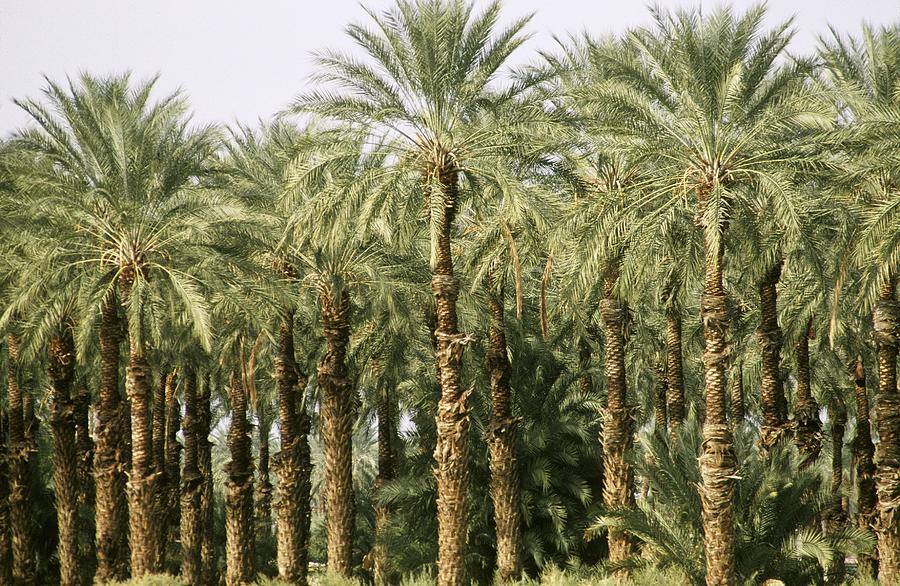 An Oasis Of Palm Trees In The Desert Photograph by George Rose
