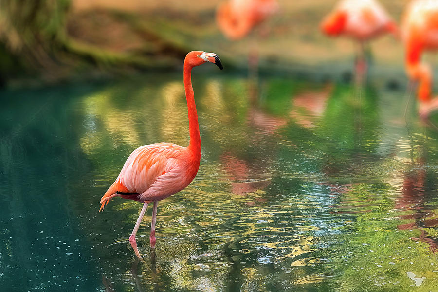 An orange-pink flamingo stands alone in a reflecting pond. by Manny DaCunha