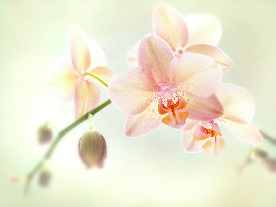 An Orchid spray. by Usha Peddamatham