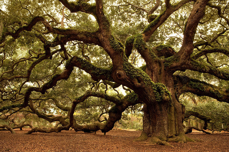 Ancient Angel Oak Near Charleston Photograph by Pgiam
