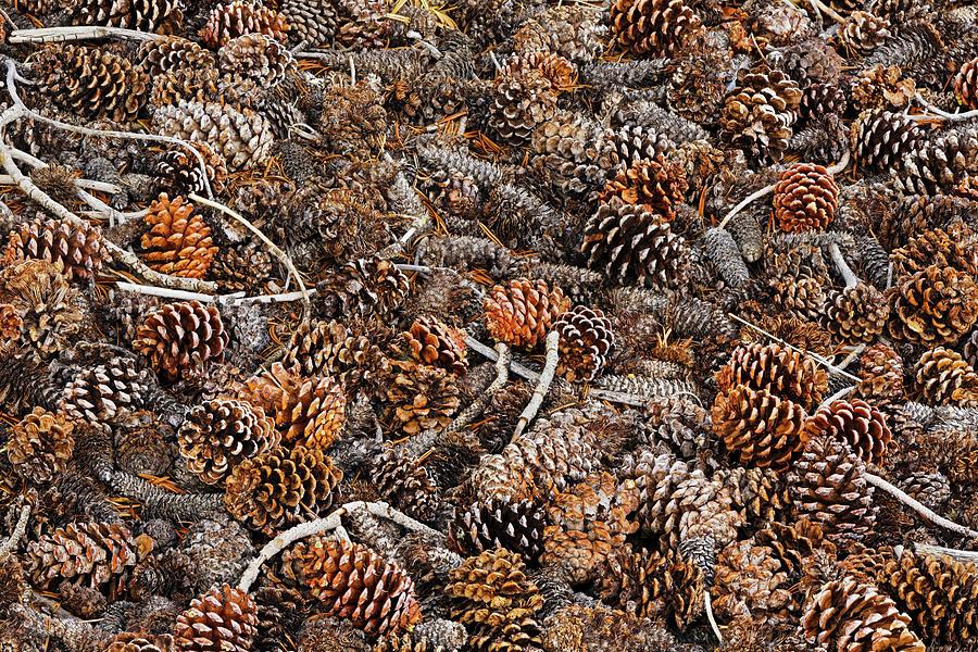 Adam Jones Photograph - Ancient Bristlecone Pine Cones by Adam Jones