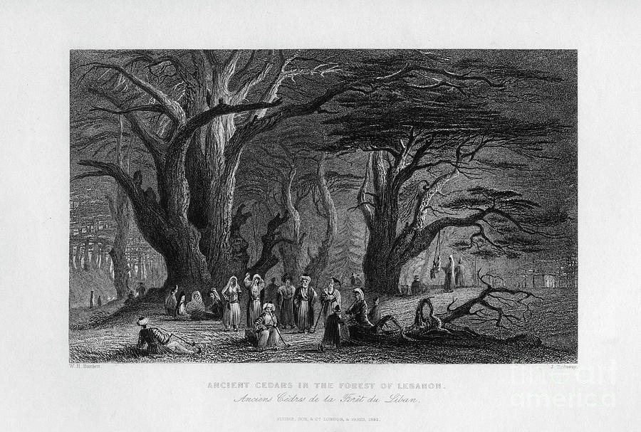 Ancient Cedars In The Forest Drawing by Print Collector