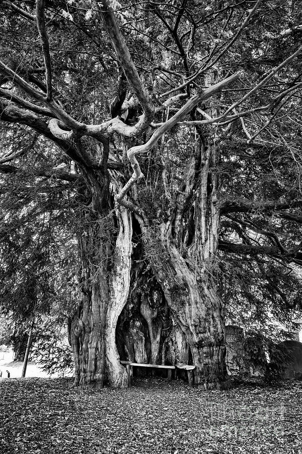Ancient Yew by Tim Gainey