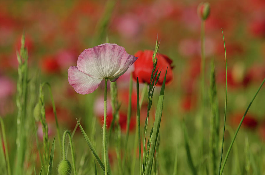 And They Called It Poppy Love Photograph