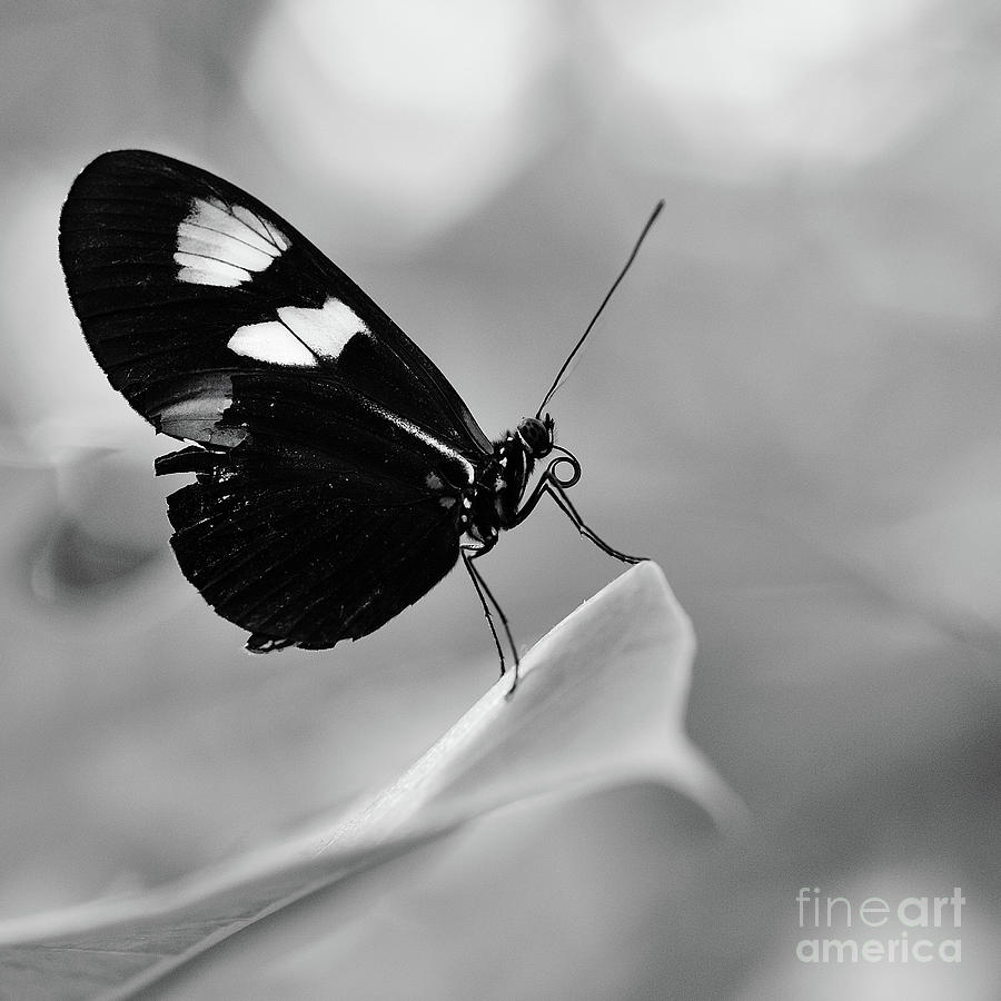 And yet another butterfly on foliage in black and white by willie branch