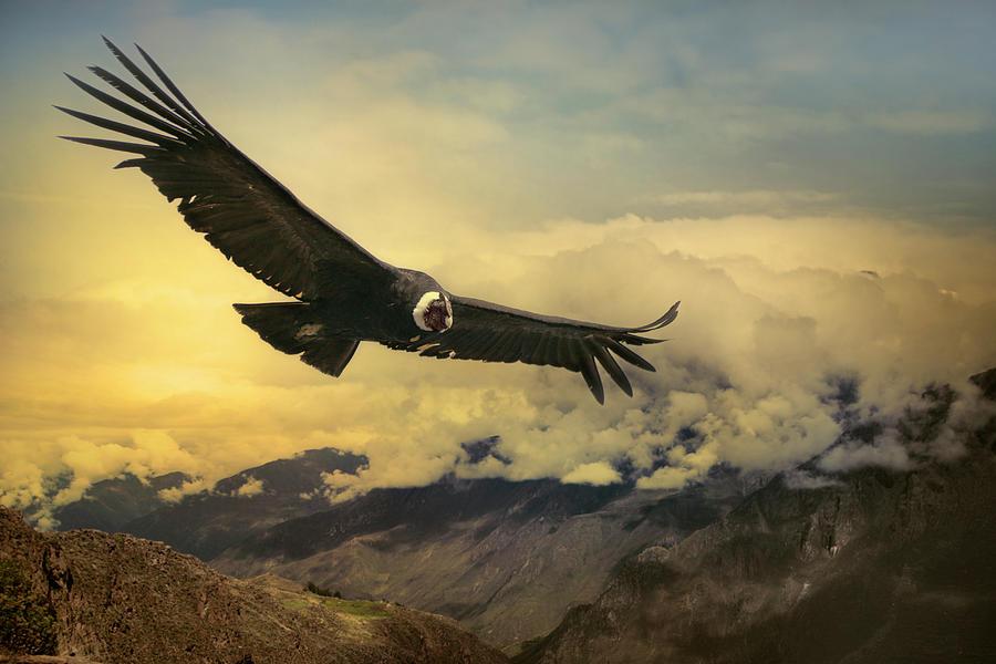 Andean Condor Photograph by Istvan Kadar Photography