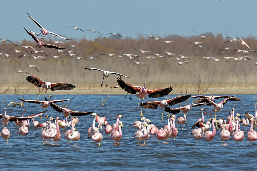 Andean Flamingos by Pablo Rodriguez Merkel