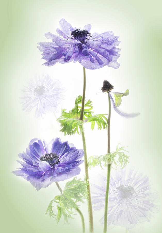 Anemone in the garden. by Usha Peddamatham