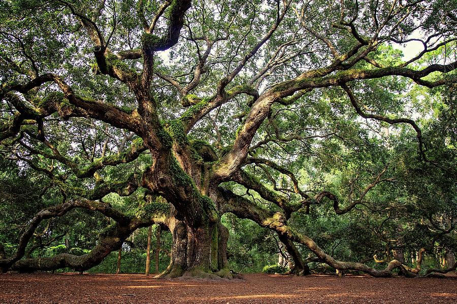 Angel Oak Tree by Lana Trussell