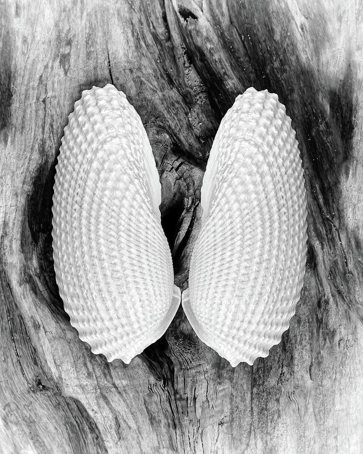 Angel Wing Seashells by Kathi Mirto