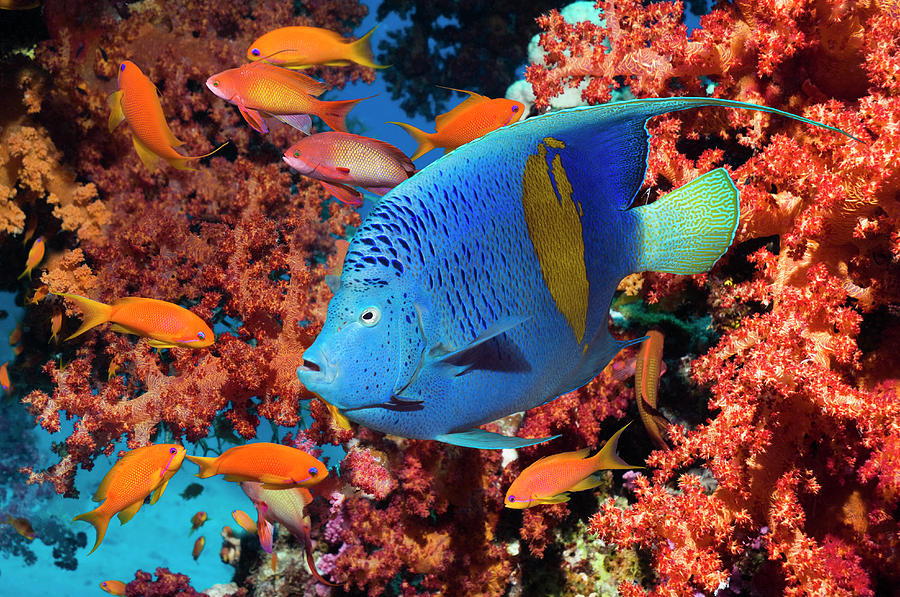 Angelfish And Lyretail Anthias Photograph by Georgette Douwma
