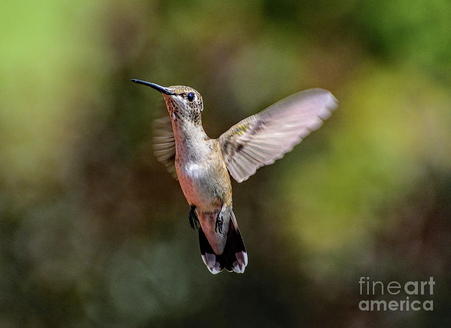 Angelic Juvenile Male Ruby-throated Hummingbird Photograph