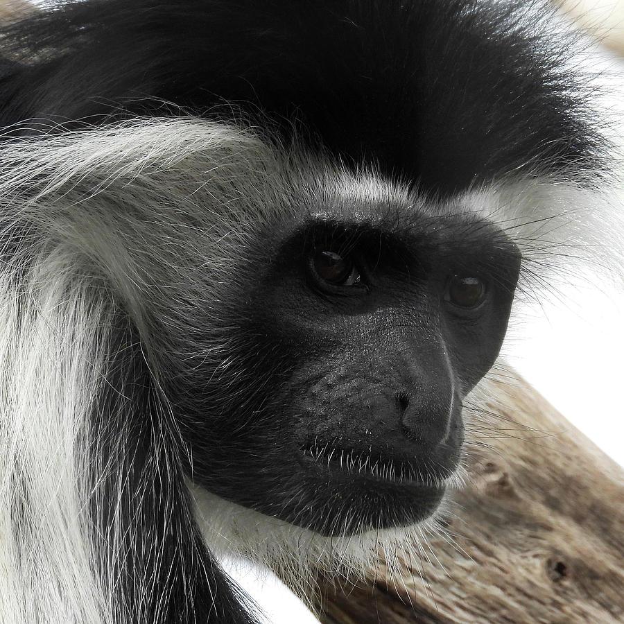 Angolan Colobus Monkey Photograph