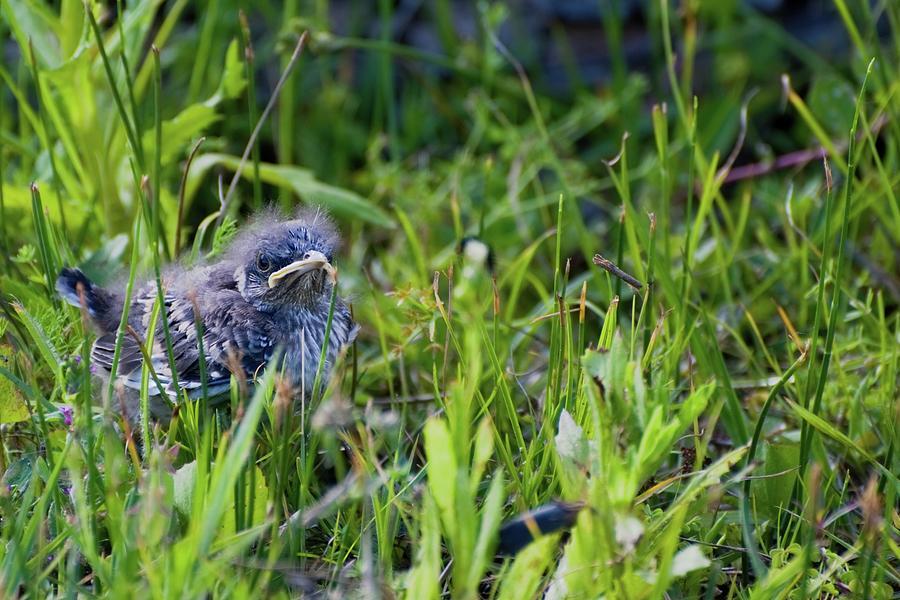 Angry Bird Fledgling Mockingbird in Grass by T Lynn Dodsworth
