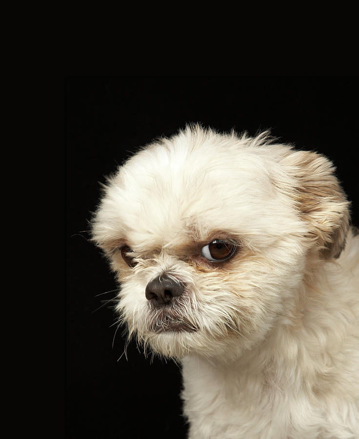 Angry White Shih Tzu With Brown Eyes Photograph by M Photo