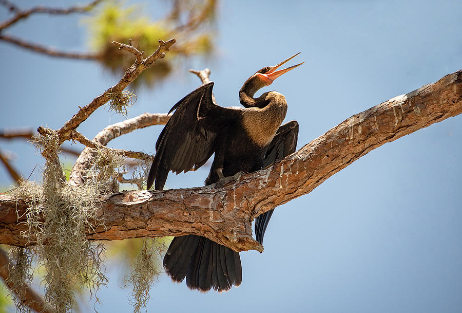 Anhinga Drying Out His Wings by Gordon Ripley