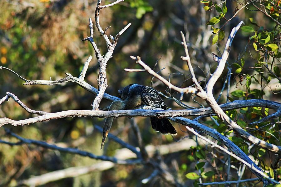 Anhinga on a Branch by Michiale Schneider