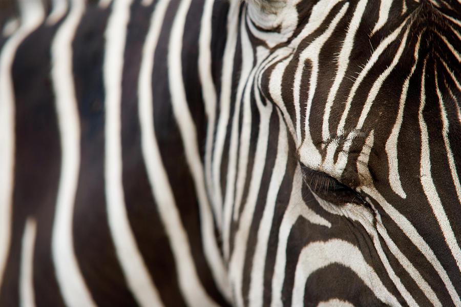Animal Zebra Stripes Black And White Photograph by Snapphoto