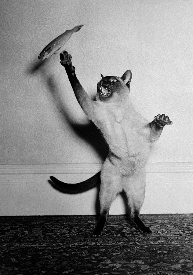 Animals. Cats. Pic Circa 1950. A Cat Photograph by Popperfoto
