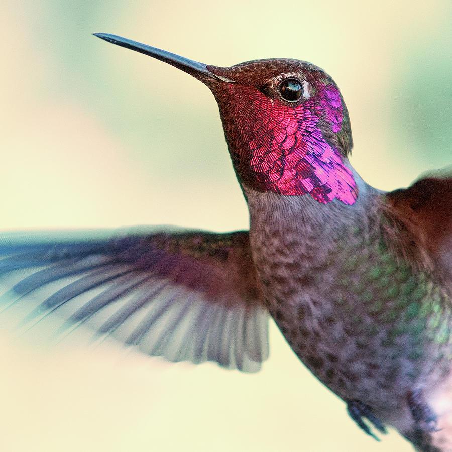Annas Hummingbird Photograph by By Ed Sweeney