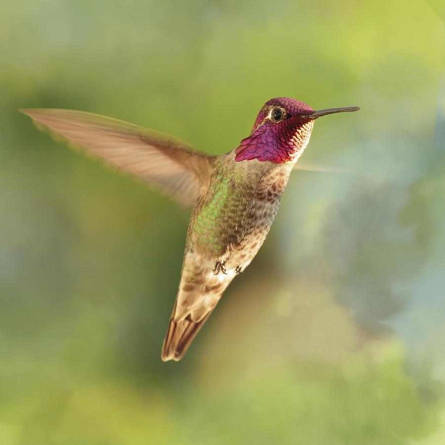 Anna's Hummingbird by Catherine Avilez