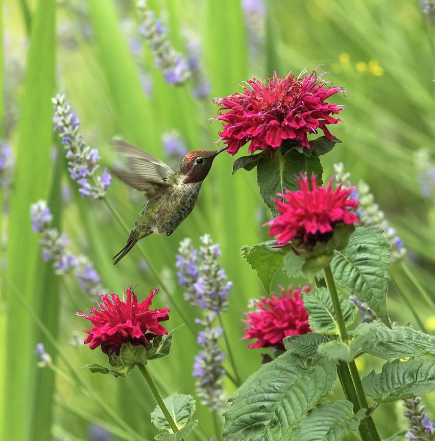 Annas Hummingbird in the Garden by Angie Vogel