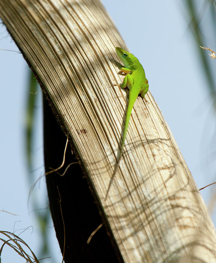 Anole by Karl Ford