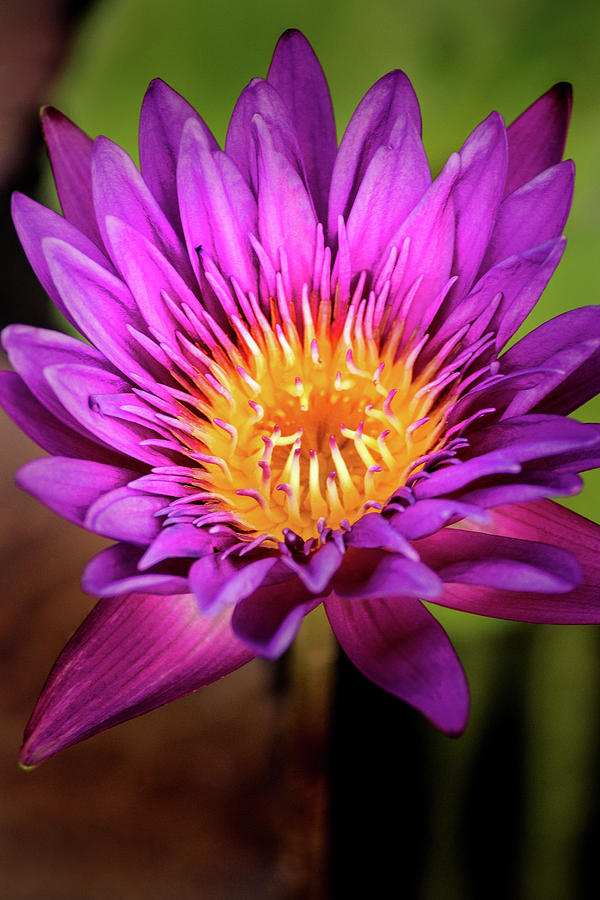 Another Purple Water Lily by Don Johnson