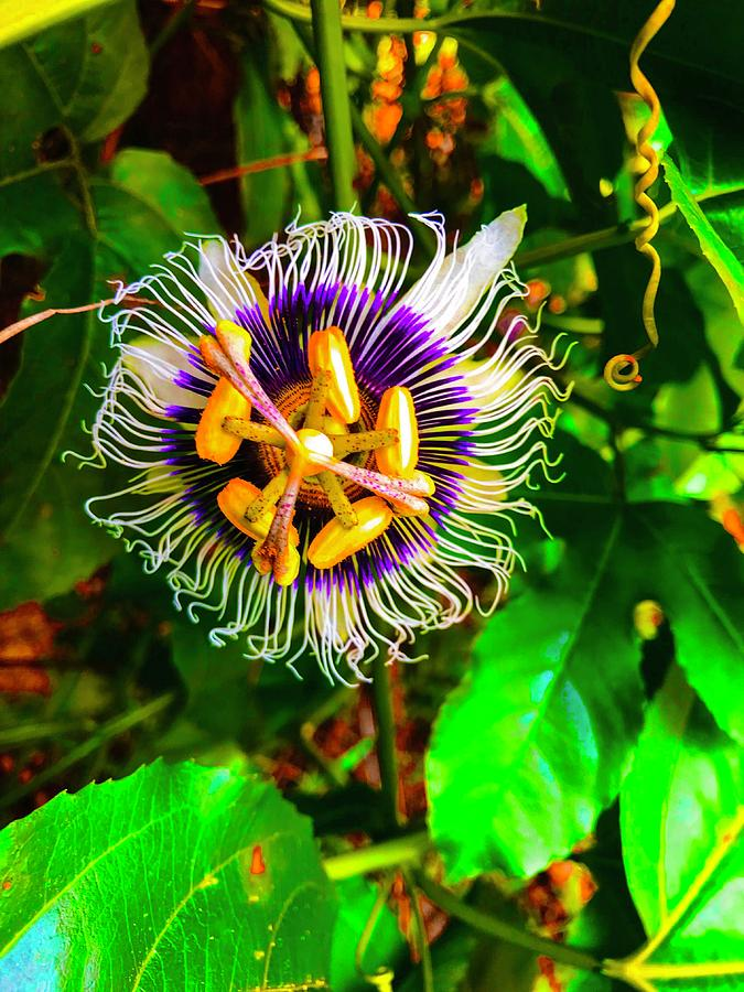 Anotherf Passion Flower for Pele by Joalene Young