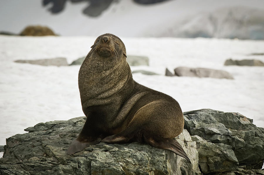 Antarctic Fur Seal Arctocephalus Gazella Photograph by Jim Julien / Design Pics