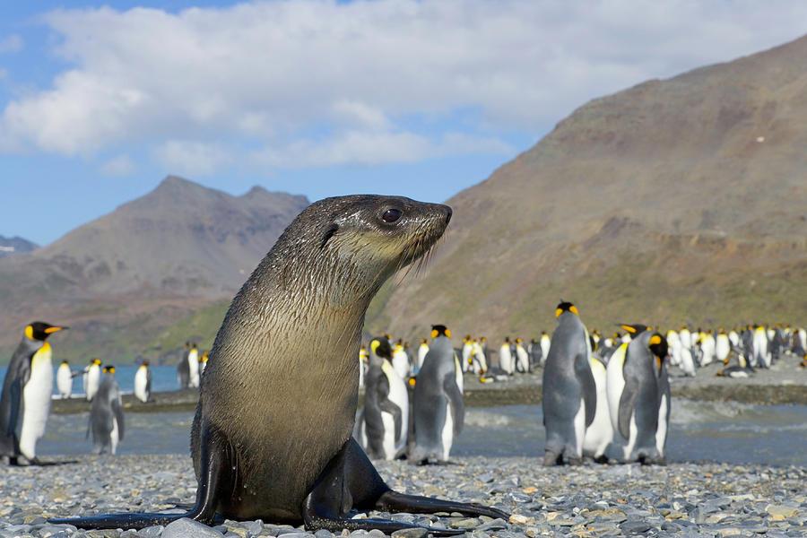 Antarctic Fur Seal Pup In King Penguin Photograph by Eastcott Momatiuk