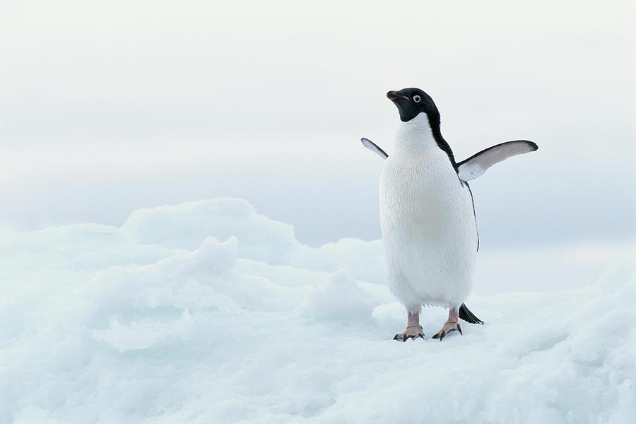 Antarctica, Adelie Penguin Pygoscelis Photograph by Joseph Van Os